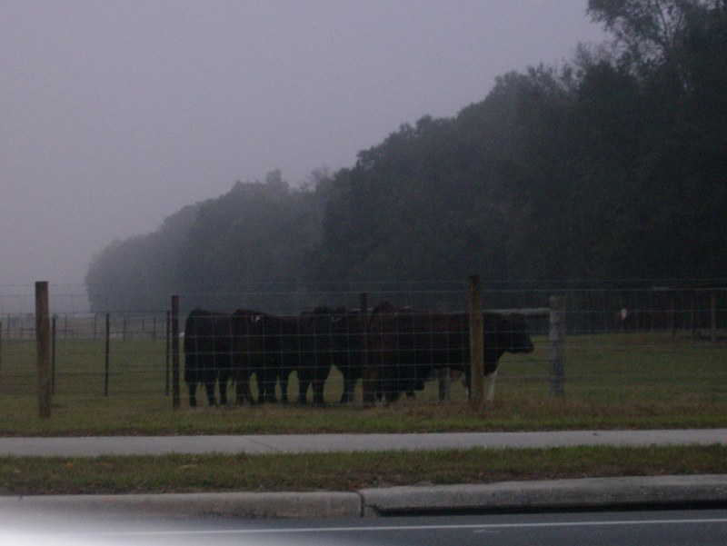 Cows_on_williston_road